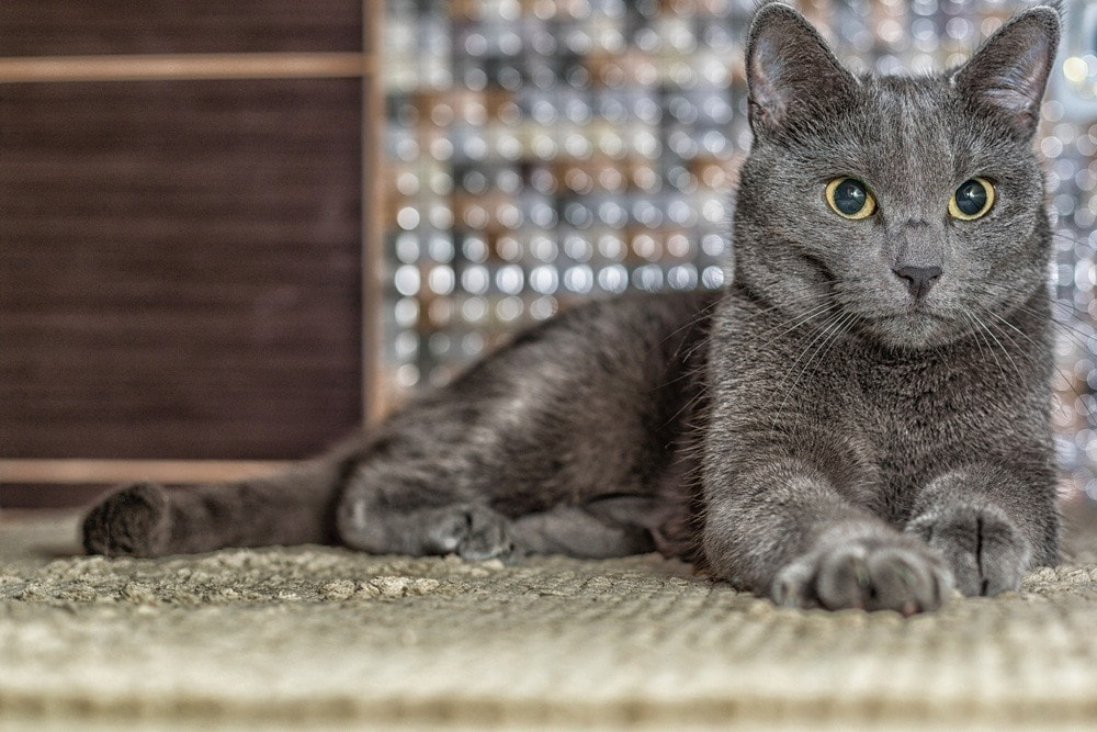 Russian blue cat striking a pose