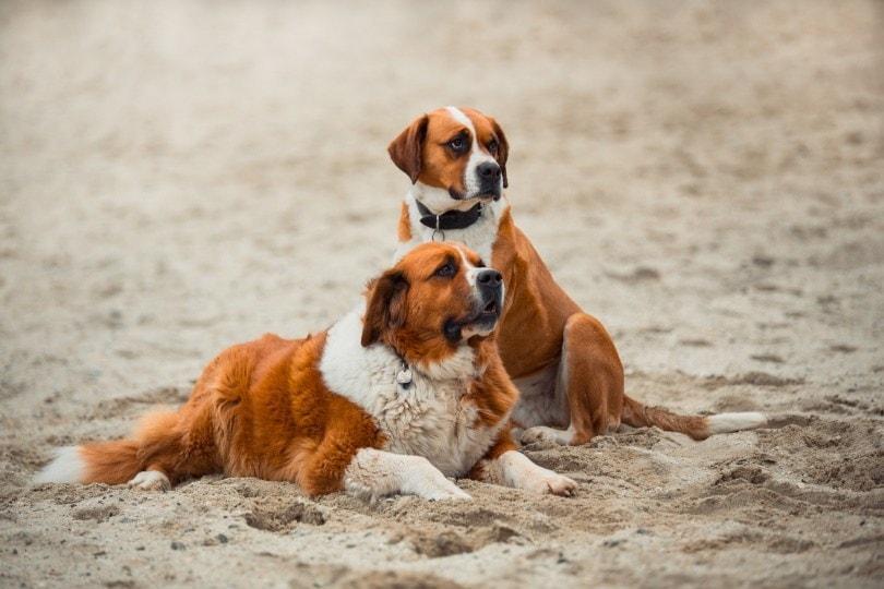 saint-bernard dogs_Šárka Jonášová_Pixabay