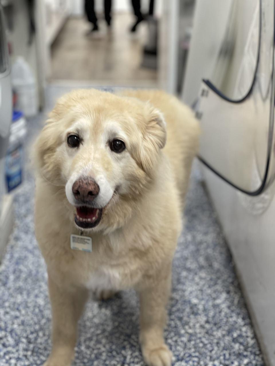 senior white dog