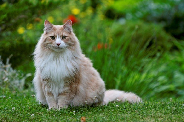 shell cameo Norwegian forest cat