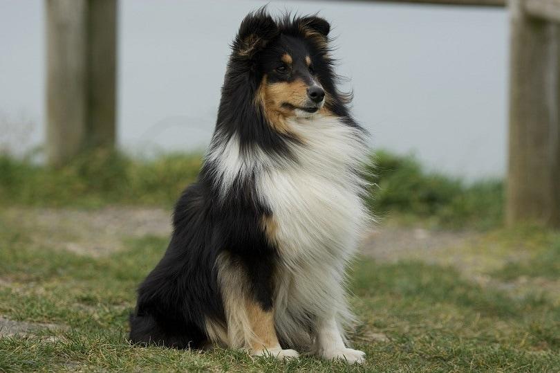 shetland shepherd-pixabay