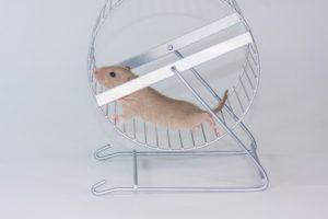 rat on wheel