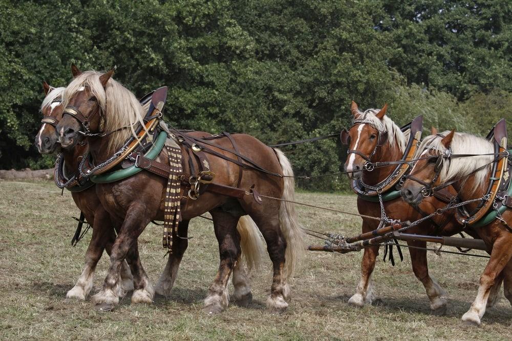 Noriker,Horse