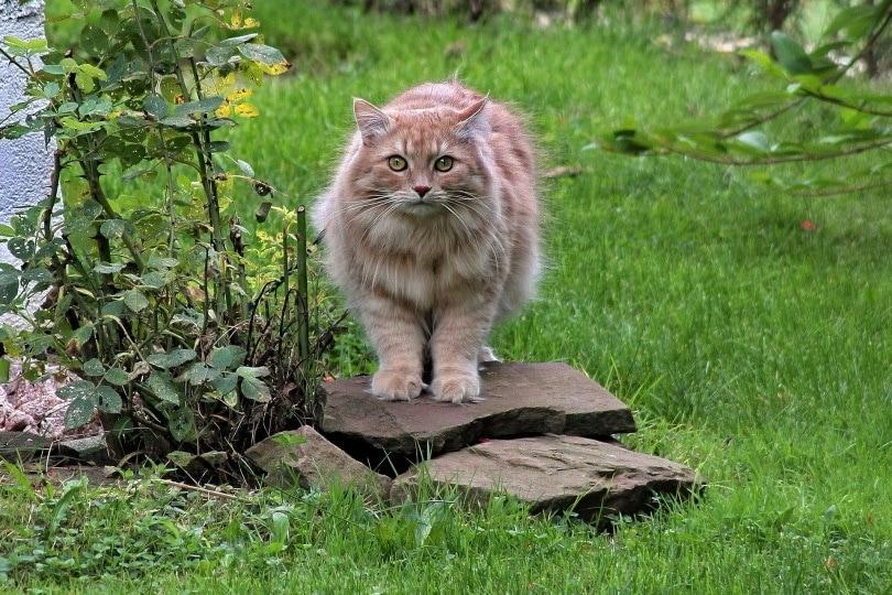 siberian cat in garden_Michael Hüttl_Pixabay