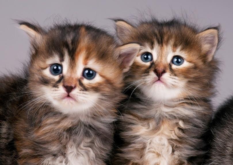 siberian kittens_Lubava_Shutterstock