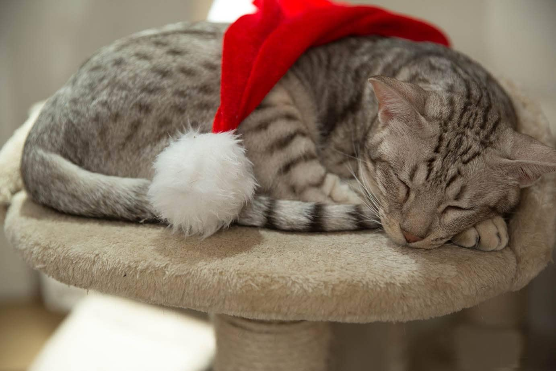 sleeping ocicat