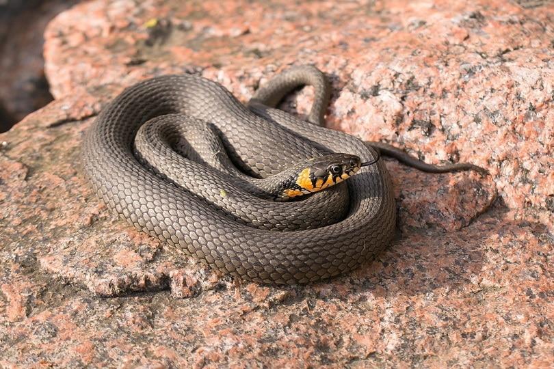 snake on rock_Jarkko Mänty_Pixabay