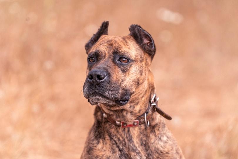 spanish alano dog posing