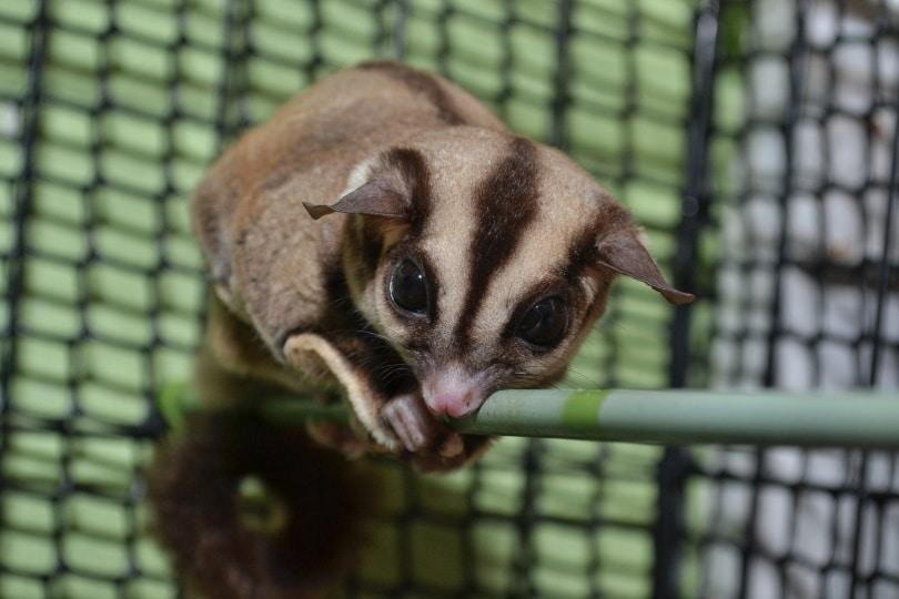 sugar glider cage_kemuncup_81_Shutterstock