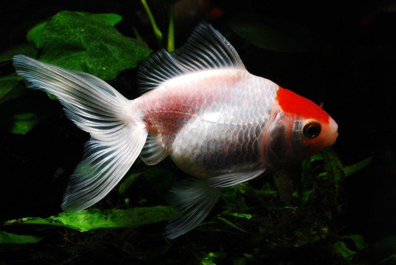 tamasaba goldfish_Juan Carlos Palau Díaz_Pixabay