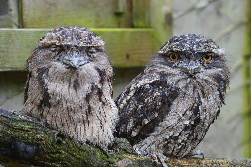 tawny-frogmouth owl_PollyDot_Pixabay