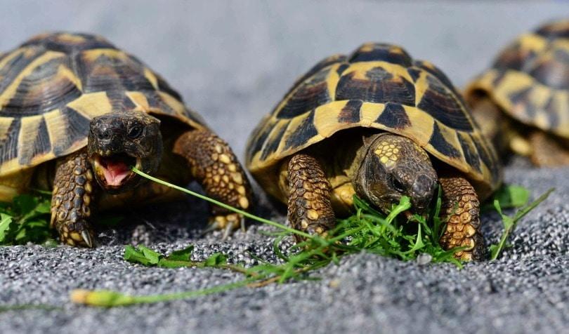 tortoise eating_congerdesign_Pixabay
