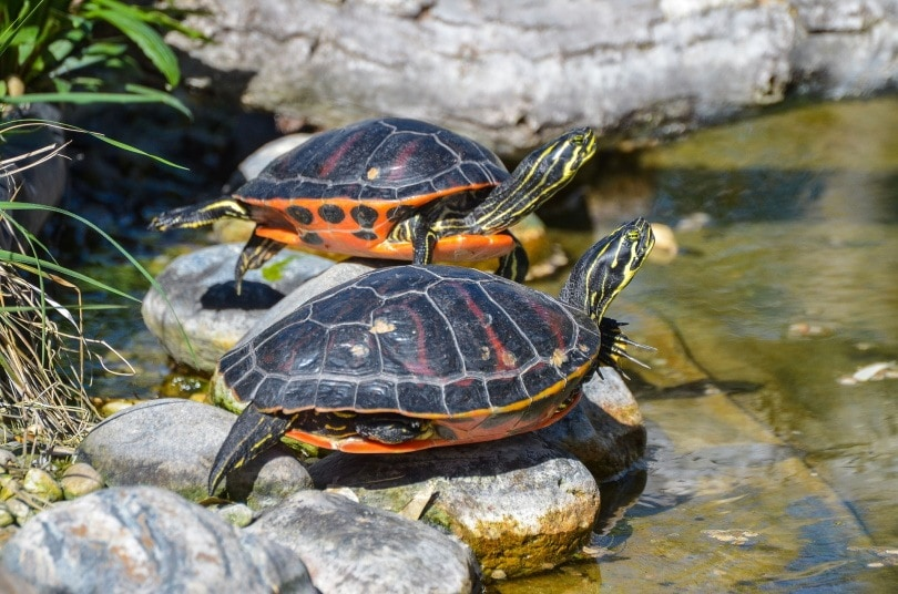 tortoise in rock_Onkel Ramirez_Pixabay
