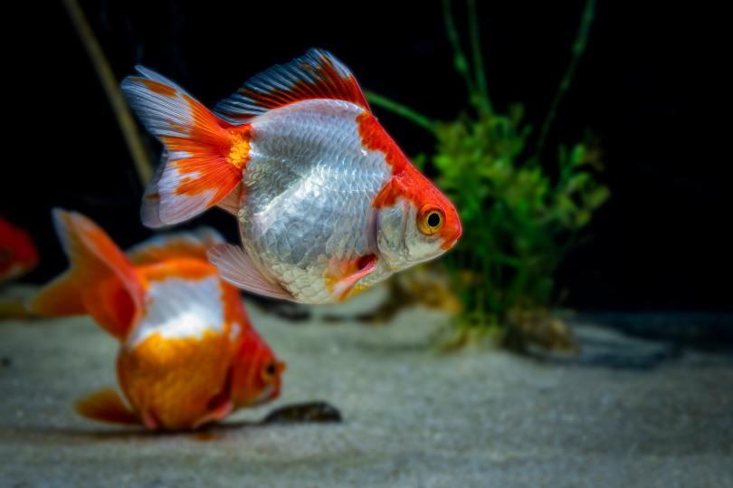 tosakin goldfish_Sad Agus_Shutterstock