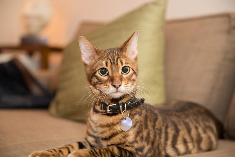 toyger kitten with collar