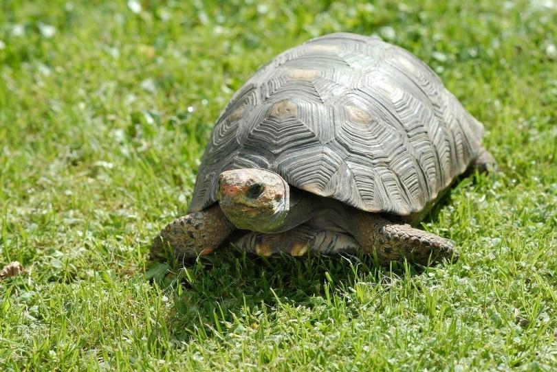 tortoise pet_Amaya Eguizábal_Pixabay