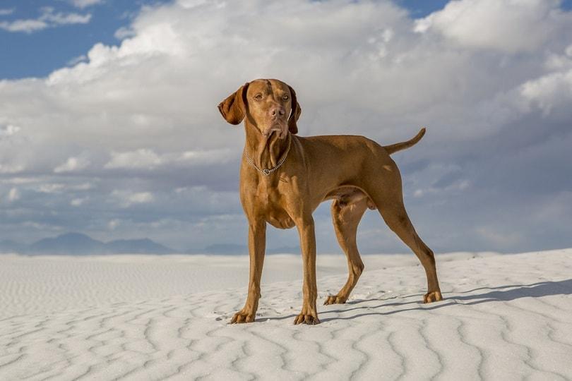 vizsla standing in a white sand desert