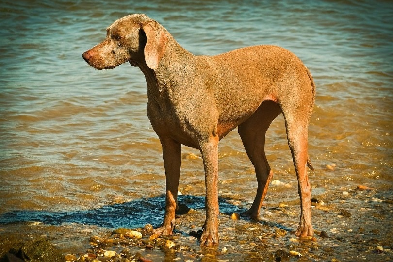 weimaraner standing on the seashore
