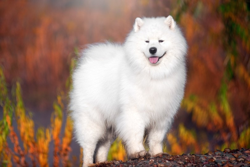white Samoyed dog in a beautiful forest