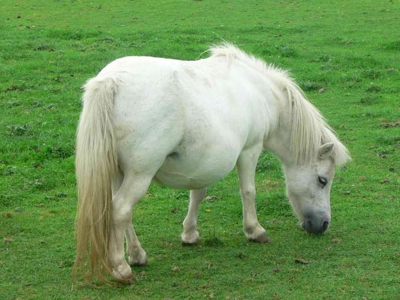white miniature horse_Piqsels