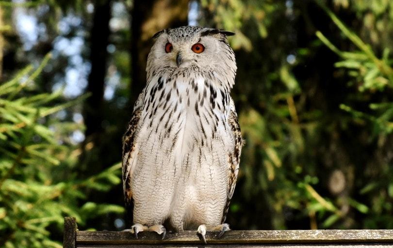 white owl_Alexas_fotos_Pixabay