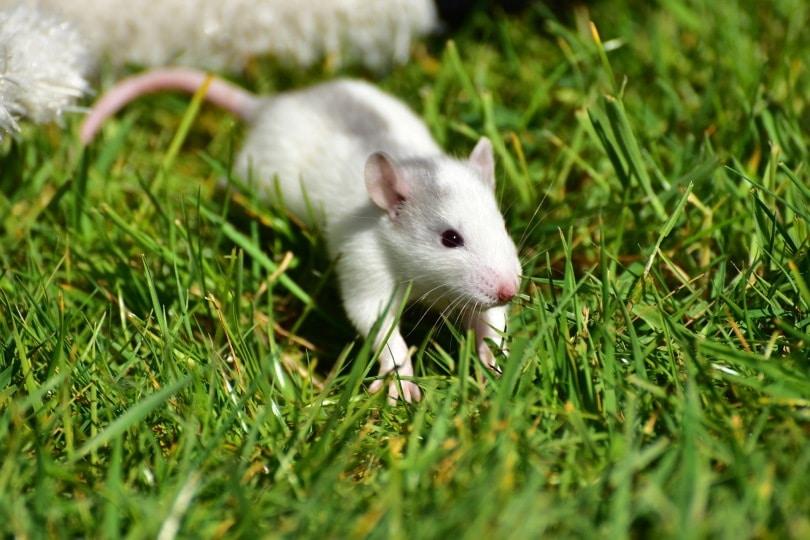 white rat_sipa_Pixabay
