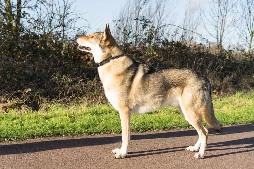 wolf dog hybrid_Ingrid Pakats_Shutterstock