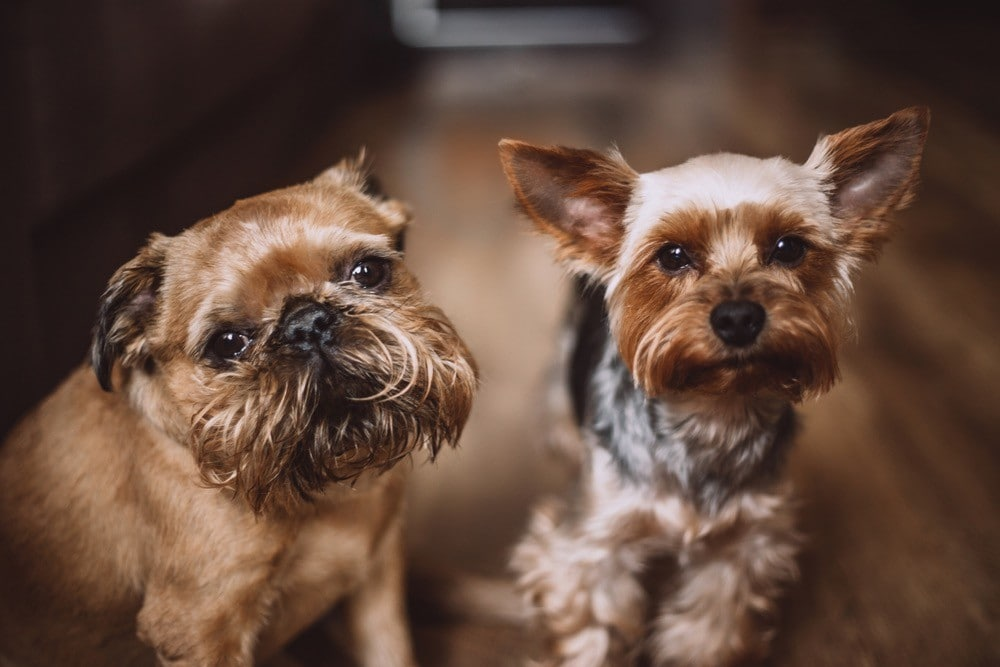 yorkshire terrier and brussels griffon
