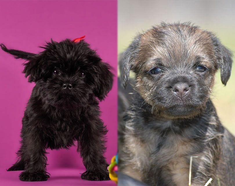 Affen-Terrier-puppies-shutterstock_pixabay_