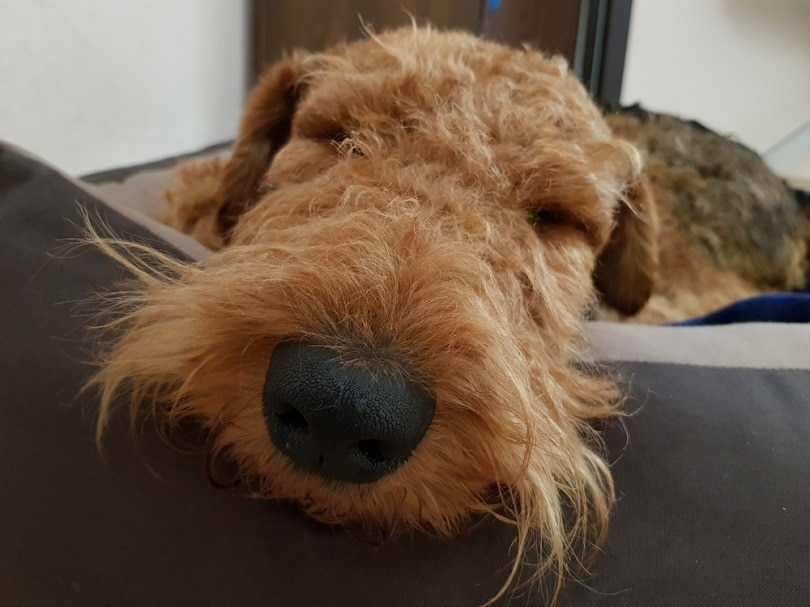 Airedale-Terrier-dog-sleeping_PROMA1_shutterstock