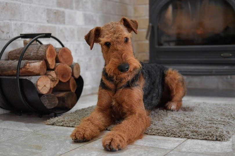 Airedale-Terrier-dog_PROMA1_shutterstock