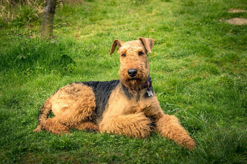 Airedale Terrier on grass