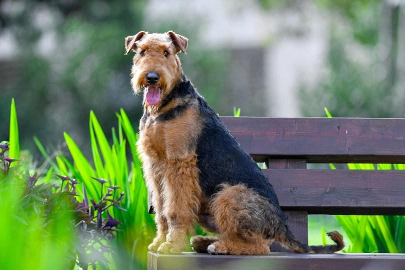 Airedale-Terrier_PROMA1_shutterstock