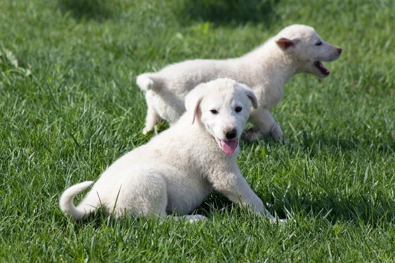 Akbash puppies_shutterstock_ehasdemir
