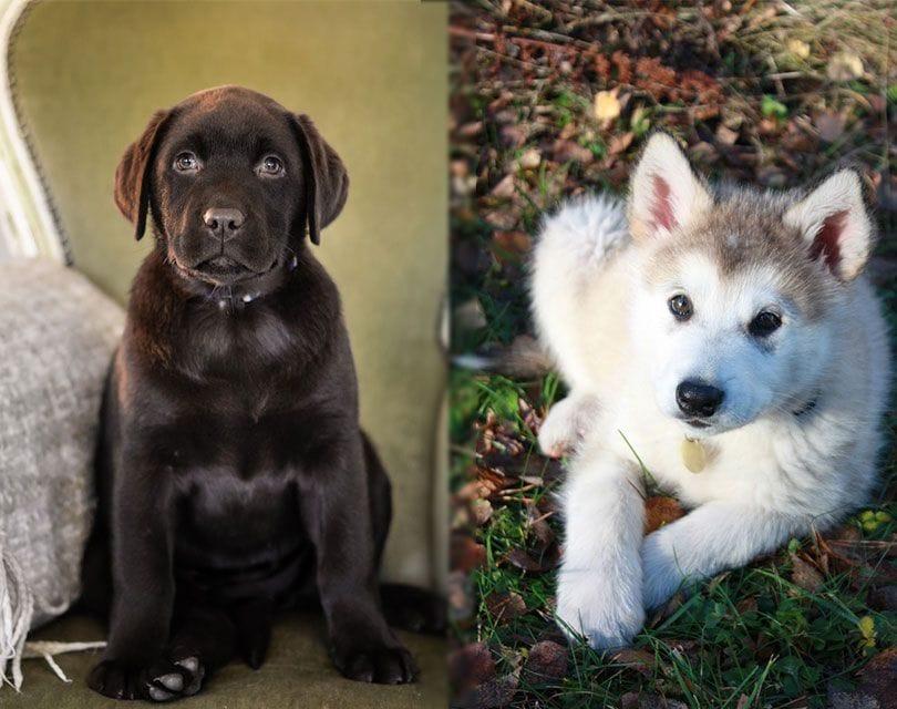 Alaskan-Malador-puppies-pixabay_