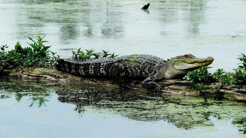 Alligator_Pixabay