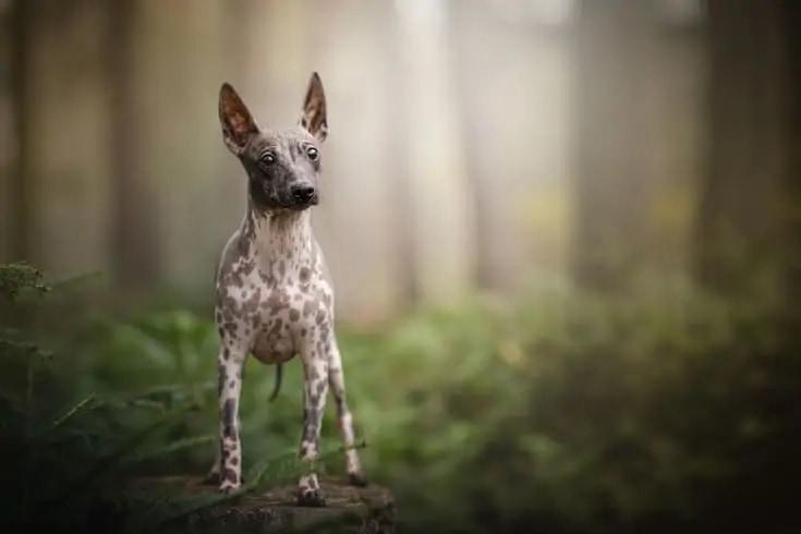 American Hairless Terrier_Shutterstock_nika174