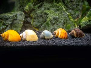 Aquatic Arts Deluxe Mystery Snail Pack in tank