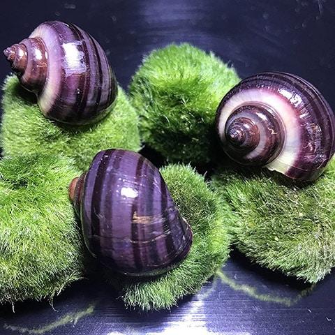 AquaticMotiv Purple Mystery Snails x3 Rare