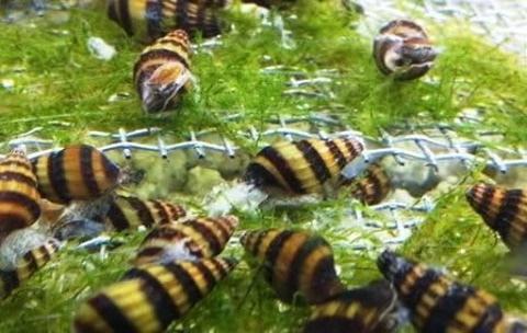Assassin snails_Amazon