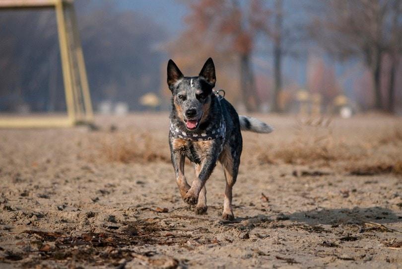 Australian Cattle Dog runs along the coast