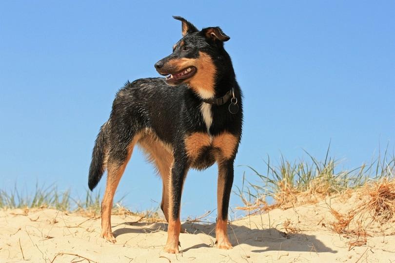 Australian Kelpie dog at the beach
