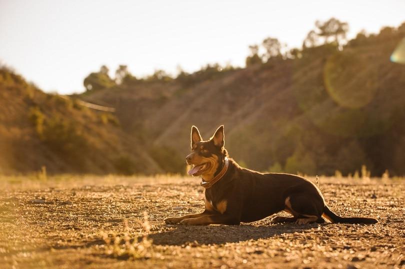 Australian Kelpie dog lying in a field