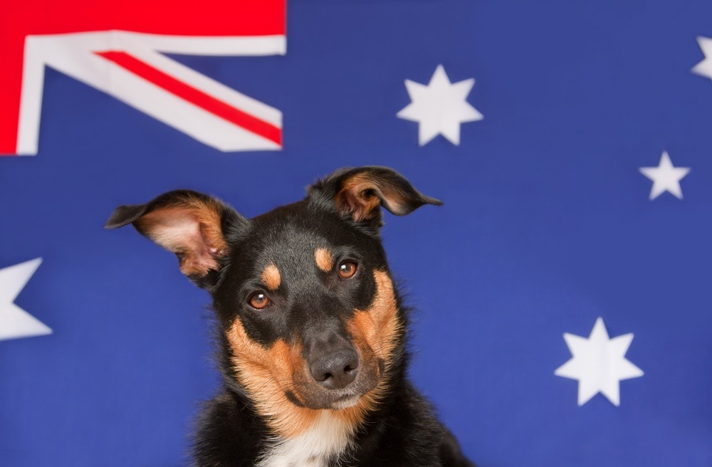 Australian kelpie with Aussie Flag