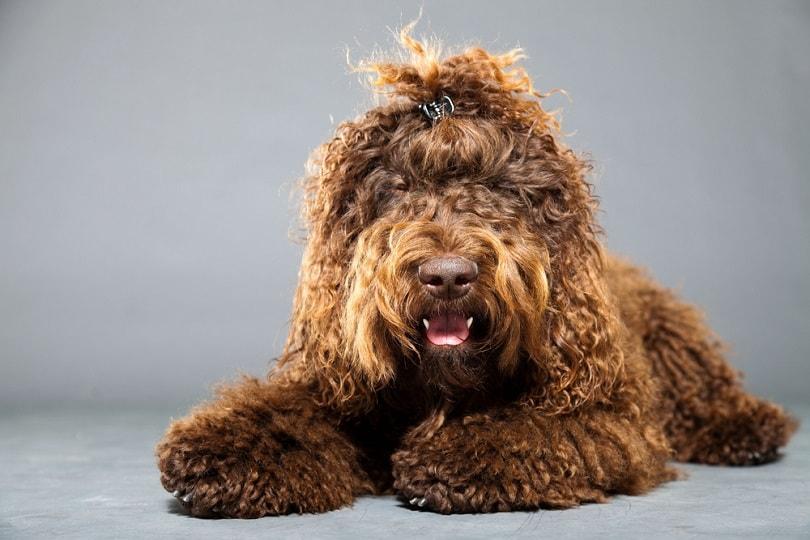 Barbet-dog_Ysbrand-Cosjin_shutterstock