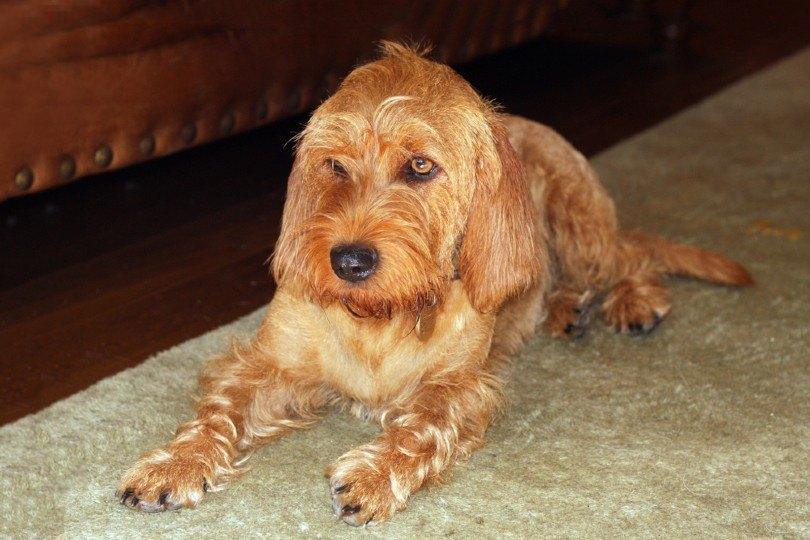 Basset Fauve de Bretagne dog lying on a rug