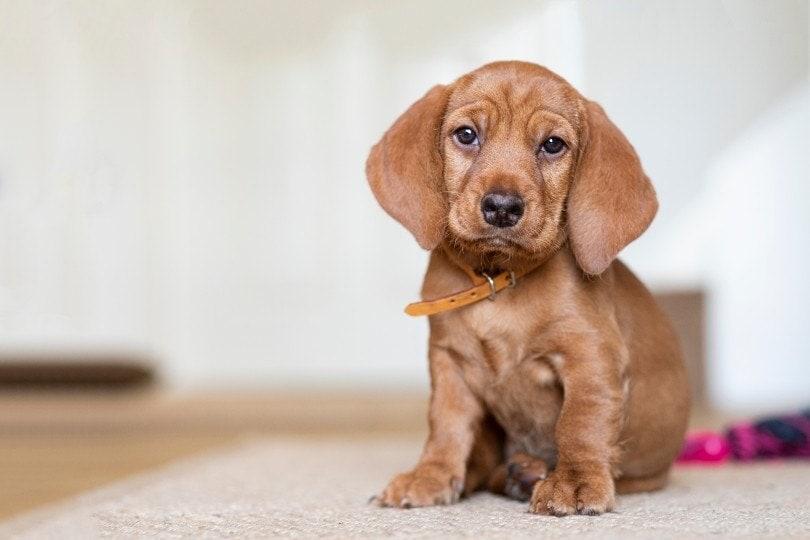 Basset Fauve de Bretagne puppy sitting on a rug