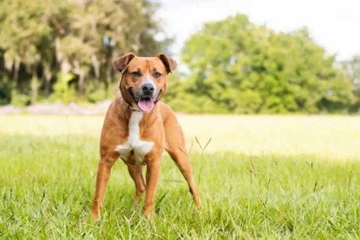 Beagle Pitbull mix_Shutterstock_TanyaCPhotography