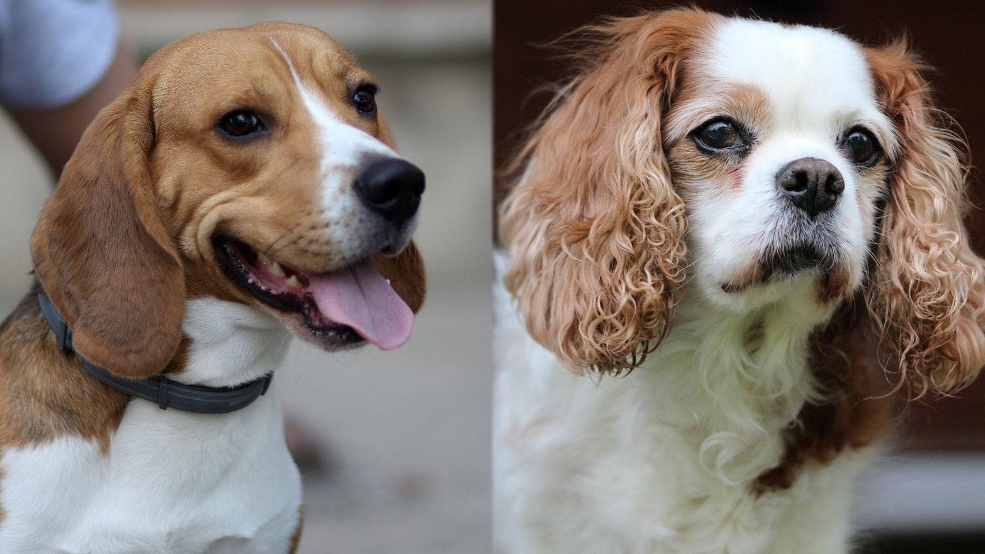 Beaglier - Beagle and Cavalier King Charles Spaniel Mix