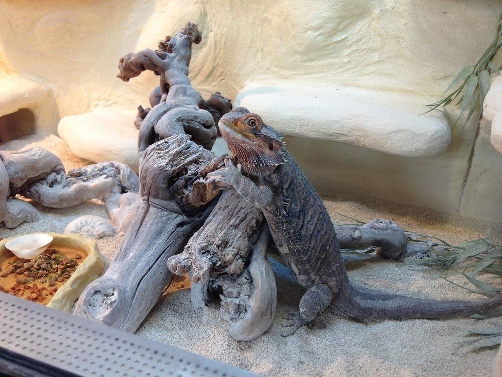 Bearded Dragon sand